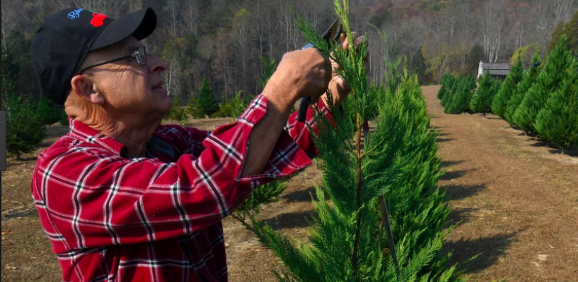 Photo from KNS, Newspaper story written by Mary Constantine about Leo Collins: http://www.knoxnews.com/story/life/2017/11/22/christmas-tree-farms-opening-season-knoxville-east-tennessee/862657001/
