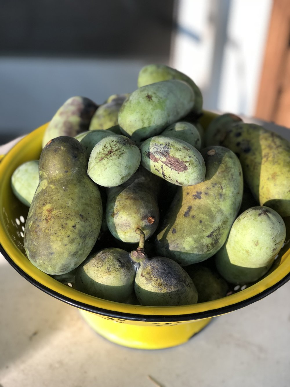 "A ""mess"" of Paw Paw fruit that I (Amy) picked September 4th. An Appalachian wonder."