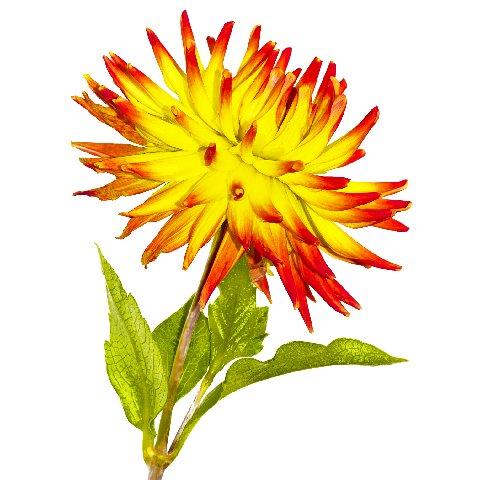 Nissen flower (4).jpg