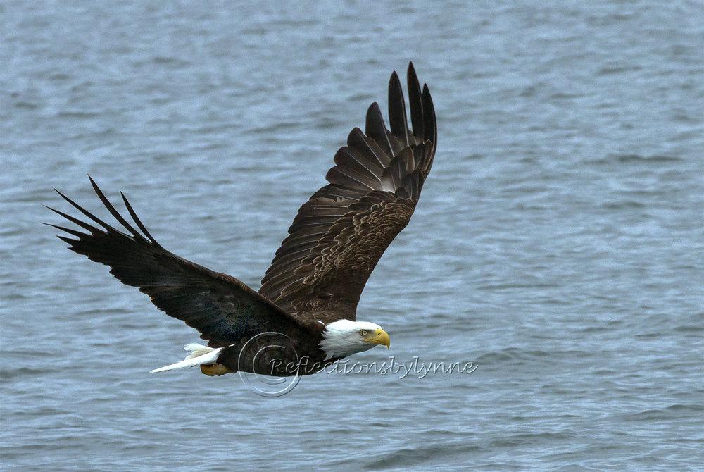 Eagle Soaring.jpg