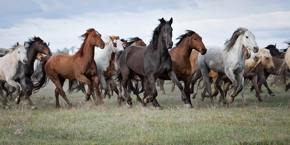 Halbert_Colorado Herd_web.jpg