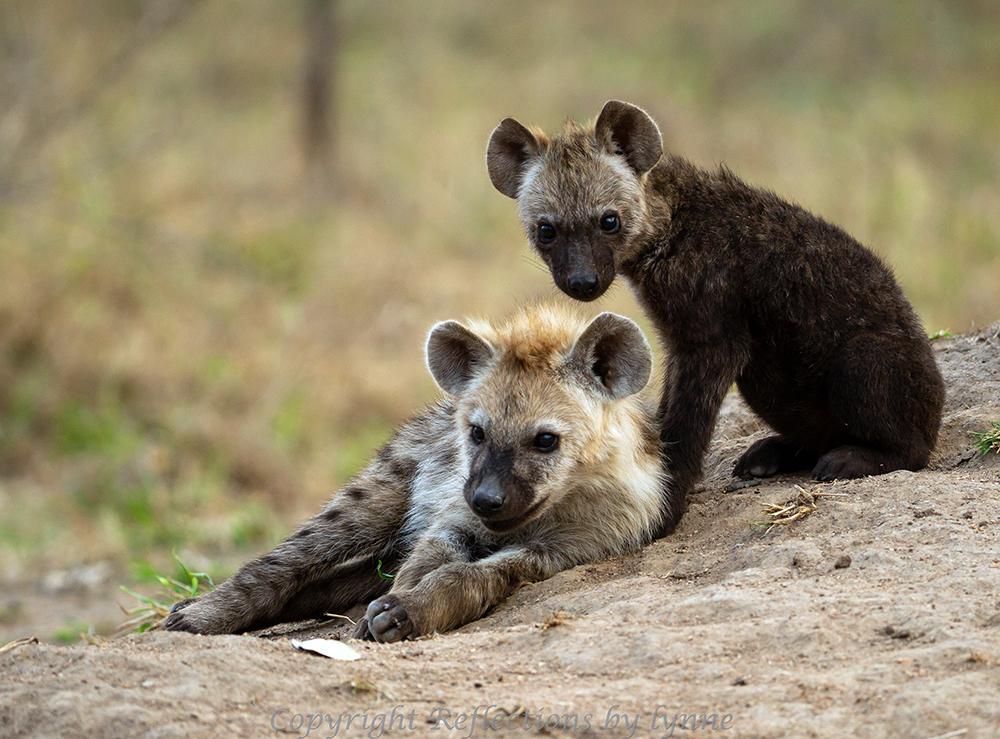 Edwards Hyena Siblings_web.jpg