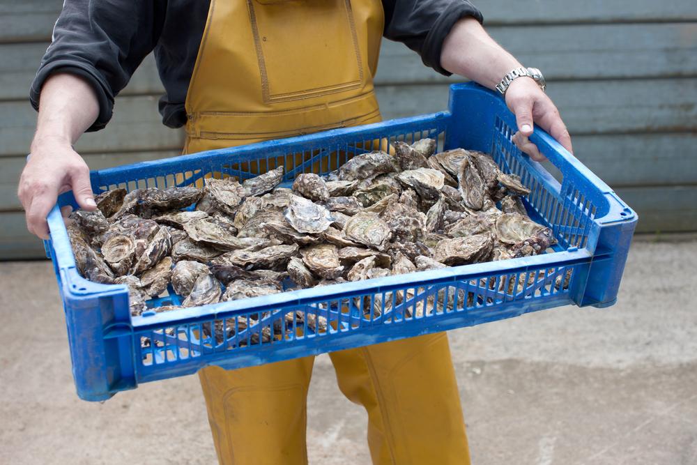 Menai Oysters, Wales, by Shaw & Shaw