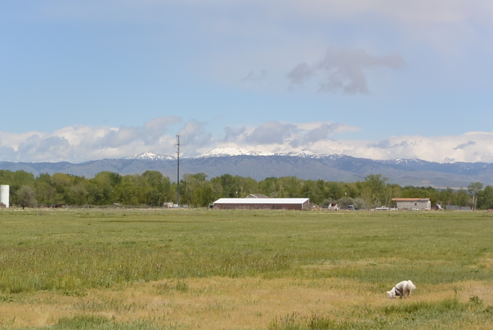 LaLa looking for treasure, the Boise hills still showing a top coat of snow