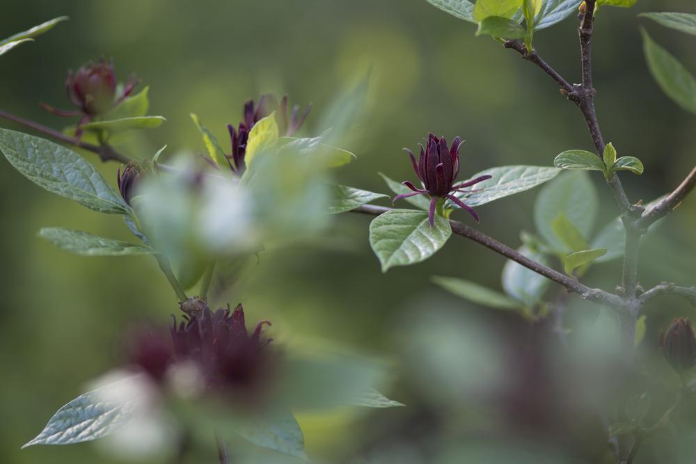 calycanthus floridus_carolina allspice.jpg