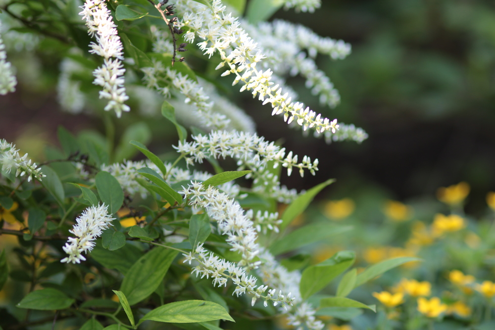 Itea virginica_sweetspire Henry's Garnet w chrysogonum virginianum.JPG