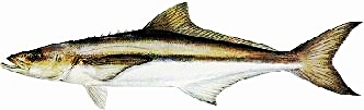 Ask me what my favorite fish to catch is and I'll say whatever's biting, but if I really had to say it would be the COBIA. We are often able to sight cast to these guys which is a real blast. The best sight fishing is May/June, but they are caught all through the summer by casting or bait fishing with chum.20 to 40 pounds is average but 50 to 80+ is not uncommon. Excellent eating, Firm white meat.