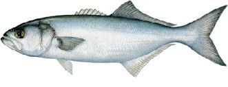 BLUEFISH are a common inshore species frequently caught casting lures and also while trolling for spanish mackeral. 1 to 5 pounds but possibly up to 10 or more especially in spring or fall. The little guys are great fried.