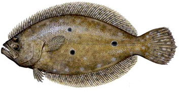 "Tasty FLOUNDER are caught drifting around in the inlet area and commonly while casting for other species in the sound. Usually 1 to 5 pounds but possibly 10 or more. We also "" gig"" or spear them at night on the flats with lights."