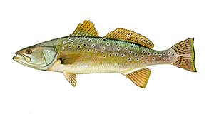 SPECKLED TROUT are caught casting around the grassy flats of the sound. Usually 1 to 3 pounds, sometimes up to 8. Very good to eat.