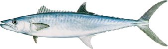 Though often found offshore, KING MACKERAL are sometimes caught closer to the beach. They are a very exciting fish to catch and are great on the smoker.  They range from 10 to 50 pounds. Exiting livebait action in the fall.
