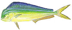 MAHI MAHI, or DOLPHIN are plentiful in the offshore waters off of Cape Hatteras and often come in to within a few miles of the beach in the hot summer months.Excellent tablefare!