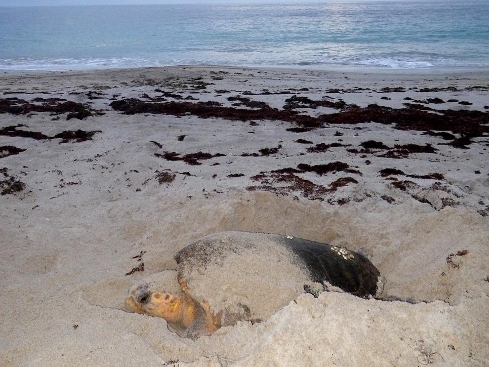 Loggerhead sea turtle laying eggs at sunrise.