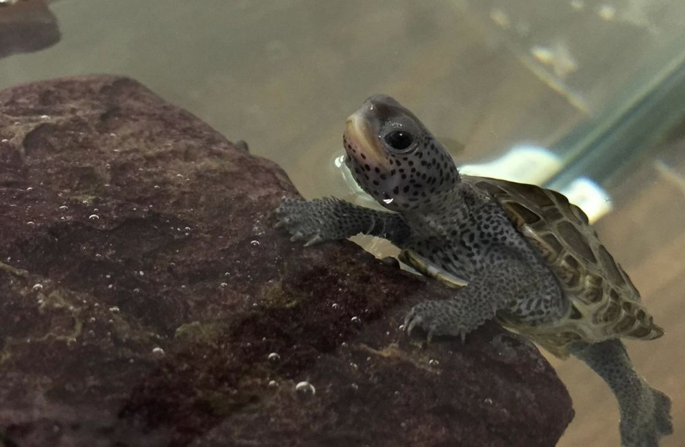 Oh yes! It's a happy diamondback terrapin in our new education display.