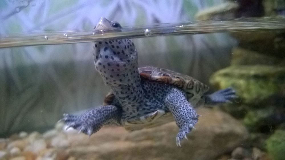 "diamond backed terrapin ""alaska"" that was rescued from an illegal shipment of turtles to asia."