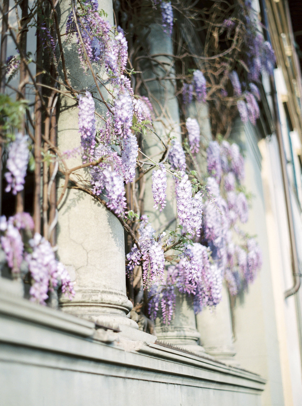 Stunning Wisteria found in Tuscany. See more on Cottage Hill