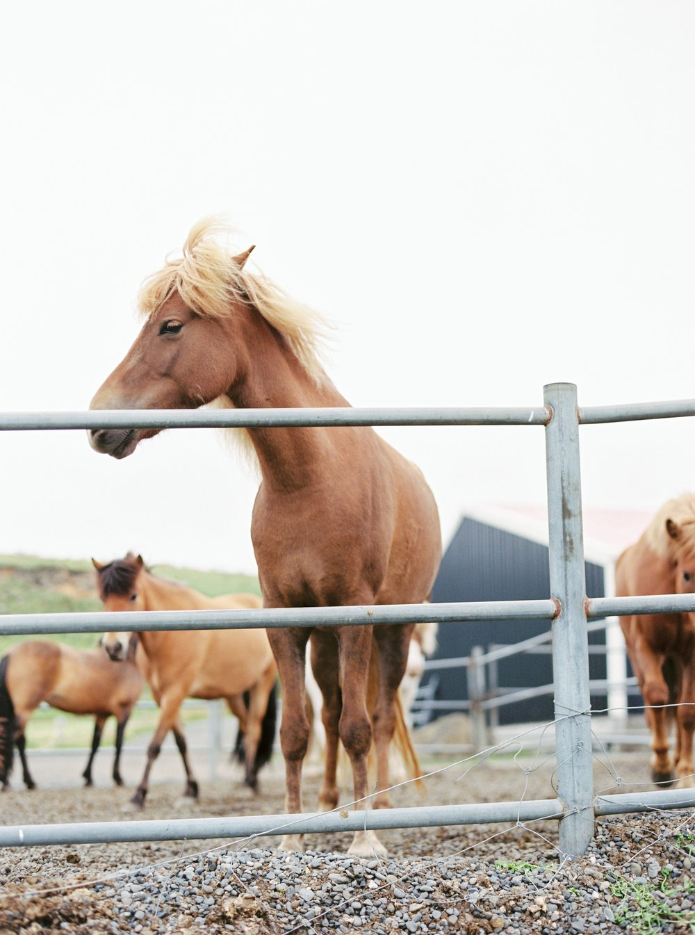 Horses in Iceland by Kristin Sweeting now on Cottage Hill59.jpg