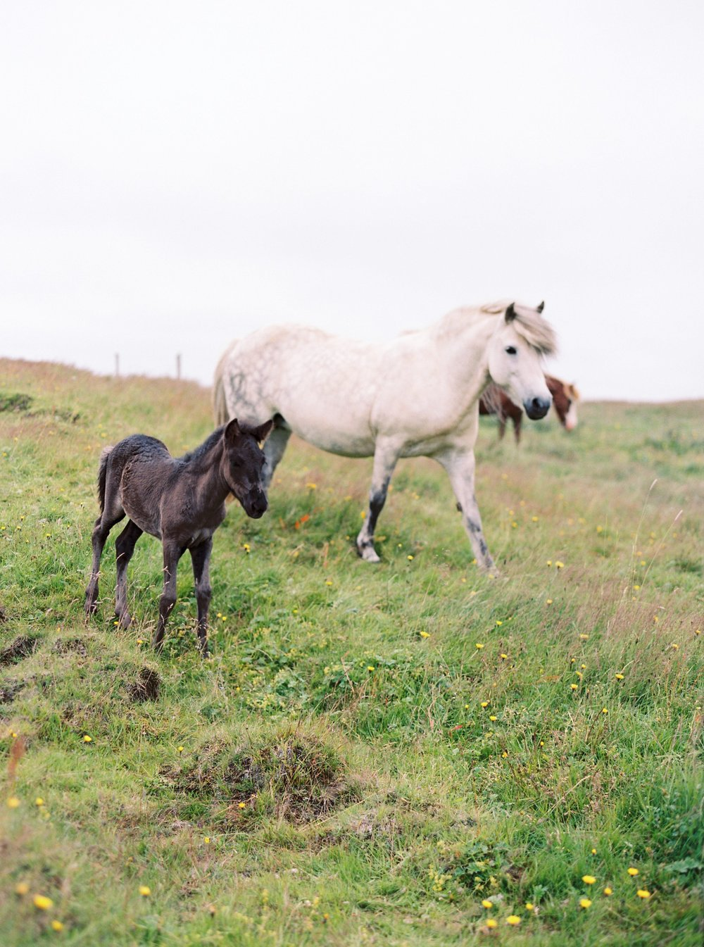 Horses in Iceland by Kristin Sweeting now on Cottage Hill69.jpg