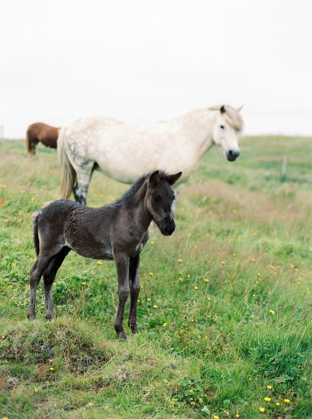 Horses in Iceland by Kristin Sweeting now on Cottage Hill70.jpg