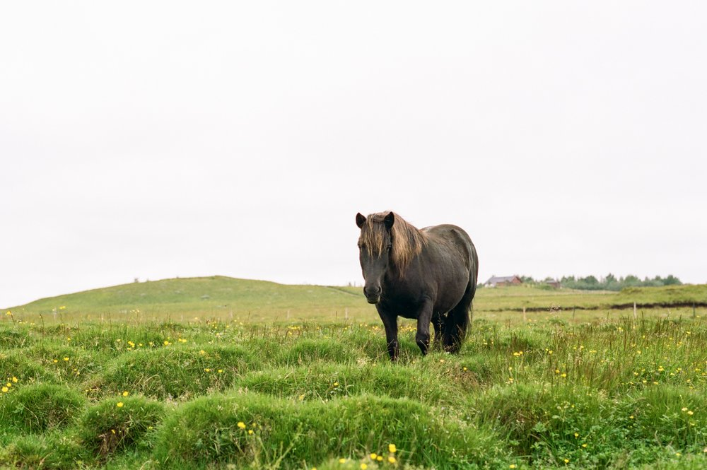 Horses in Iceland by Amilia James now on Cottage Hill13.jpg