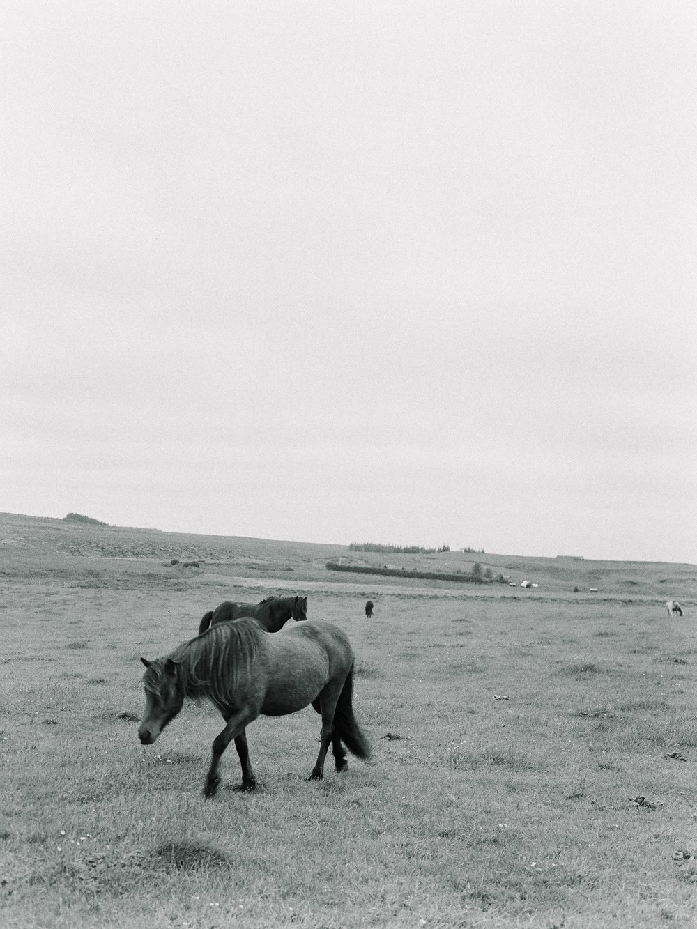 Horses in Iceland by Elli Jane now on Cottage Hill16.jpg