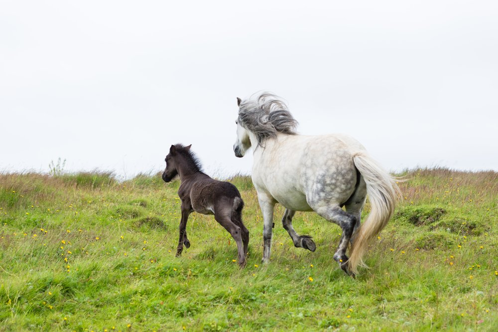 Horses in Iceland by Jen Madigan now on Cottage Hill24.jpg