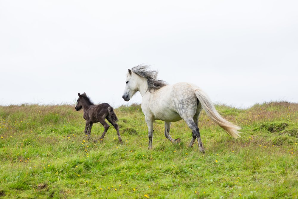 Horses in Iceland by Jen Madigan now on Cottage Hill25.jpg