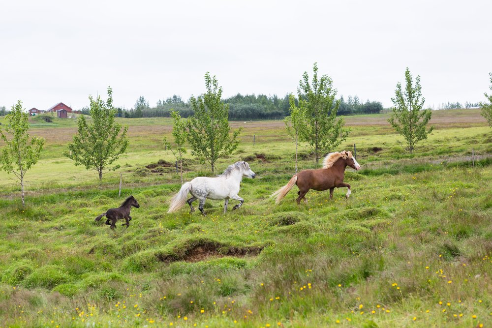 Horses in Iceland by Jen Madigan now on Cottage Hill35.jpg