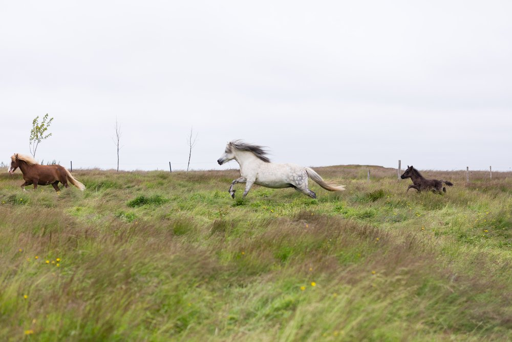 Horses in Iceland by Jen Madigan now on Cottage Hill36.jpg