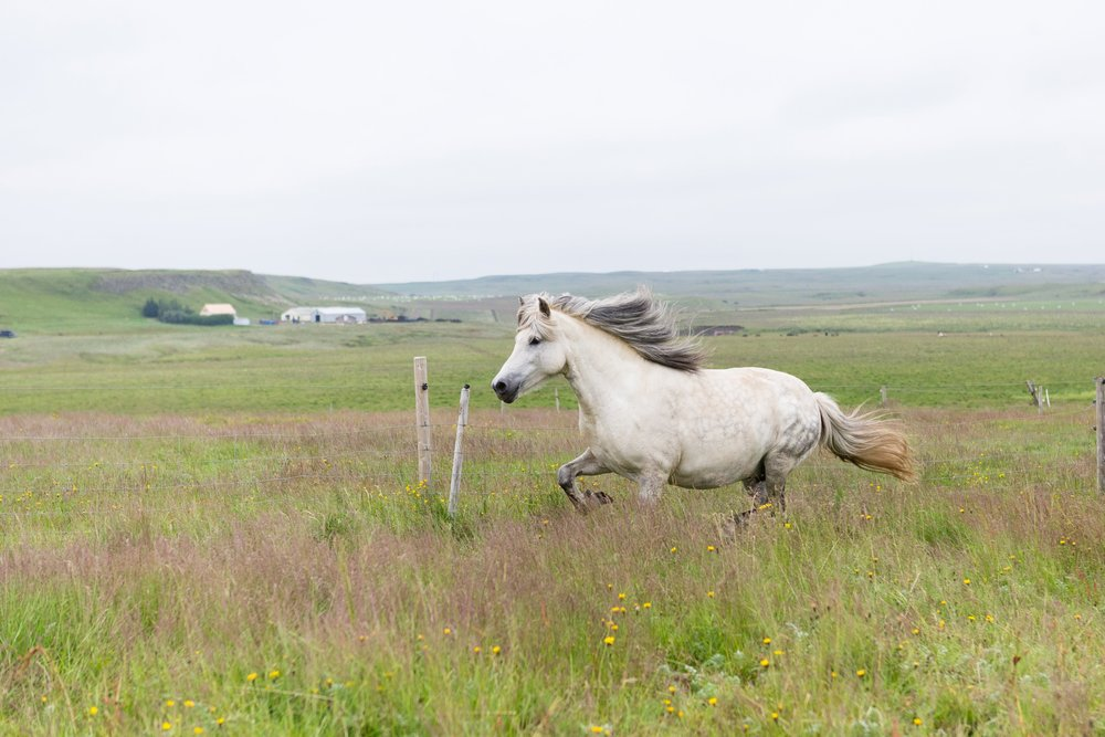 Horses in Iceland by Jen Madigan now on Cottage Hill42.jpg