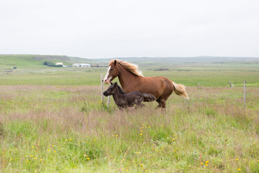 Horses in Iceland by Jen Madigan now on Cottage Hill43.jpg