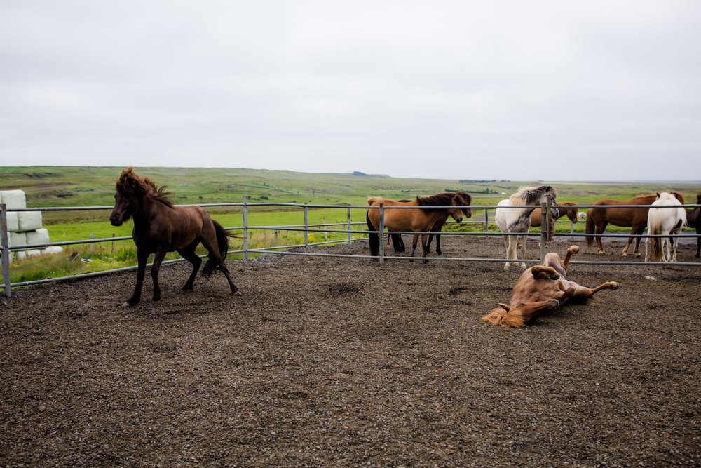 Horses in Iceland by Christina Swanson now on Cottage Hill17.jpg