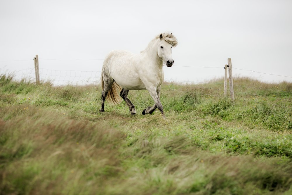 Horses in Iceland by Christina Swanson now on Cottage Hill26.jpg