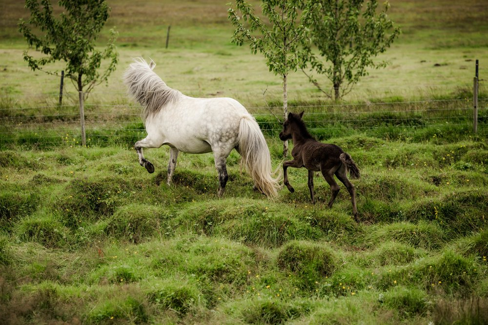 Horses in Iceland by Christina Swanson now on Cottage Hill29.jpg