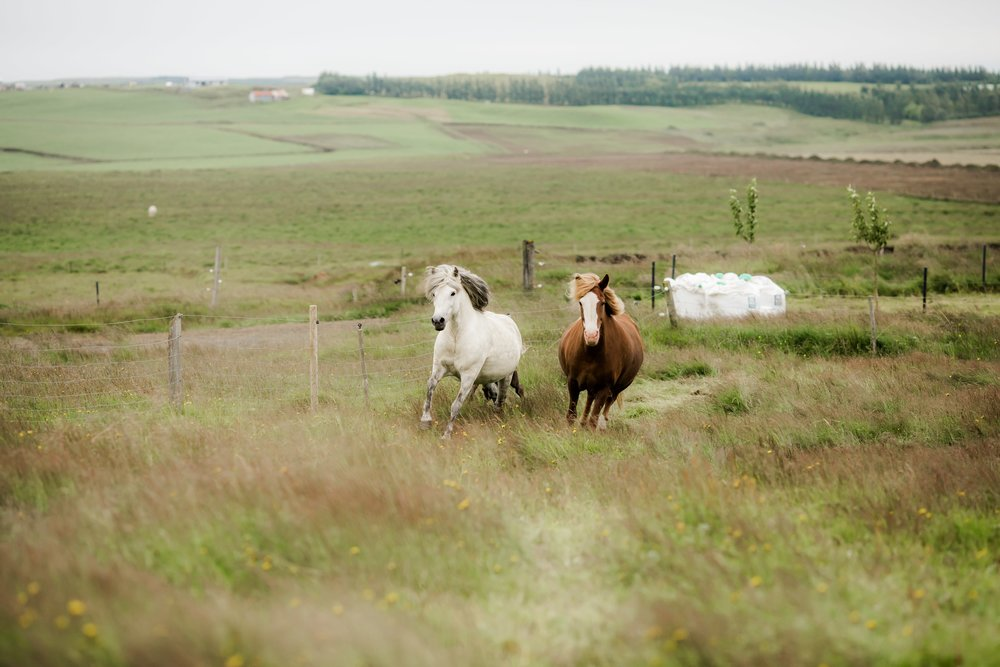 Horses in Iceland by Christina Swanson now on Cottage Hill32.jpg