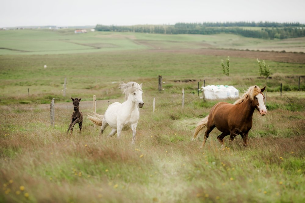 Horses in Iceland by Christina Swanson now on Cottage Hill33.jpg