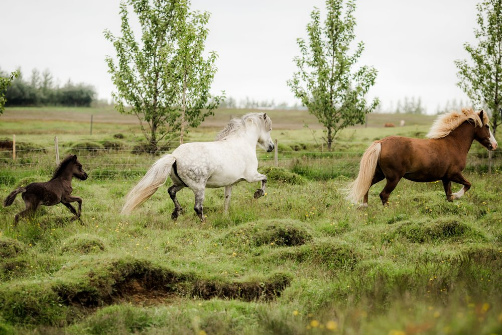 Horses in Iceland by Christina Swanson now on Cottage Hill34.jpg
