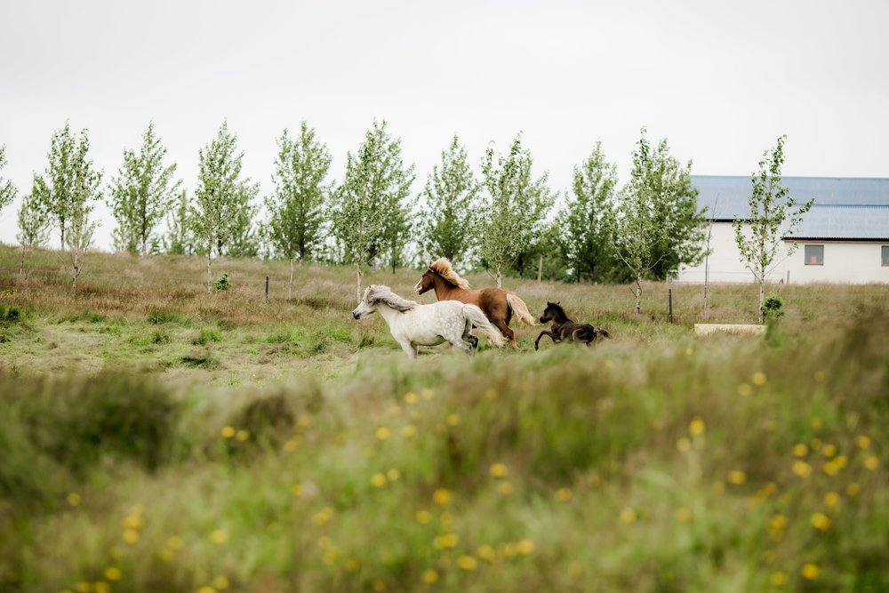 Horses in Iceland by Christina Swanson now on Cottage Hill38.jpg