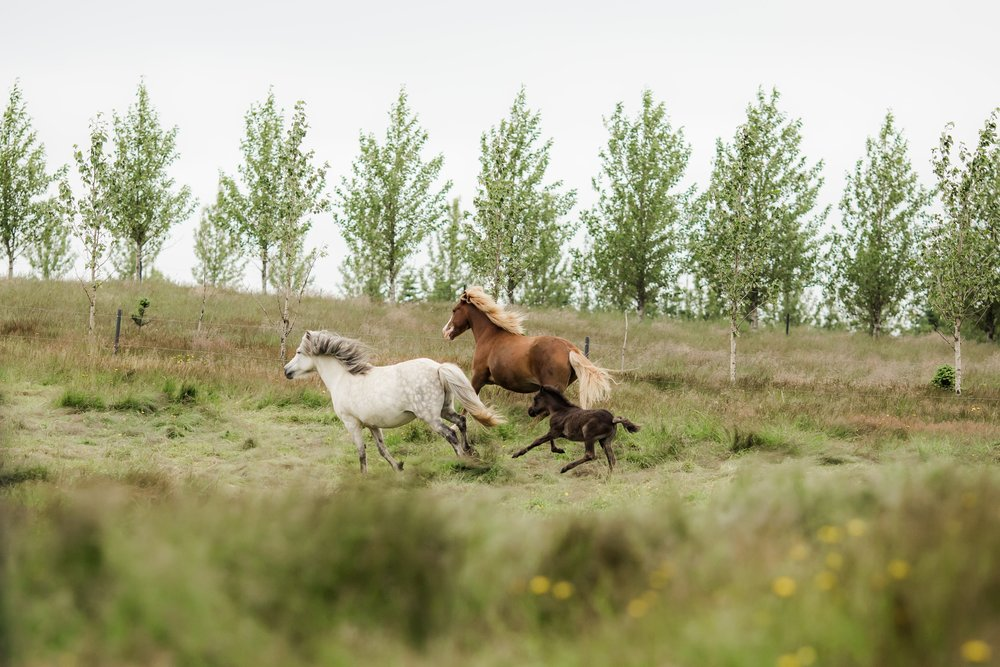 Horses in Iceland by Christina Swanson now on Cottage Hill39.jpg