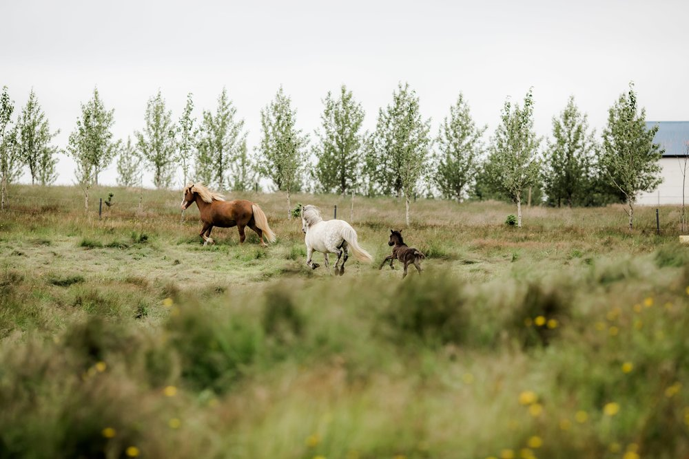 Horses in Iceland by Christina Swanson now on Cottage Hill43.jpg