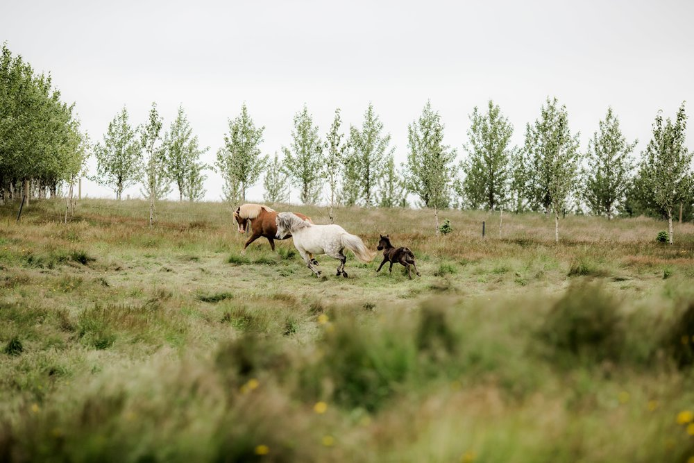 Horses in Iceland by Christina Swanson now on Cottage Hill44.jpg