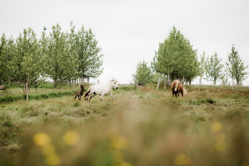 Horses in Iceland by Christina Swanson now on Cottage Hill47.jpg