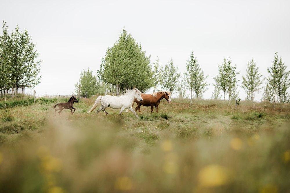 Horses in Iceland by Christina Swanson now on Cottage Hill48.jpg