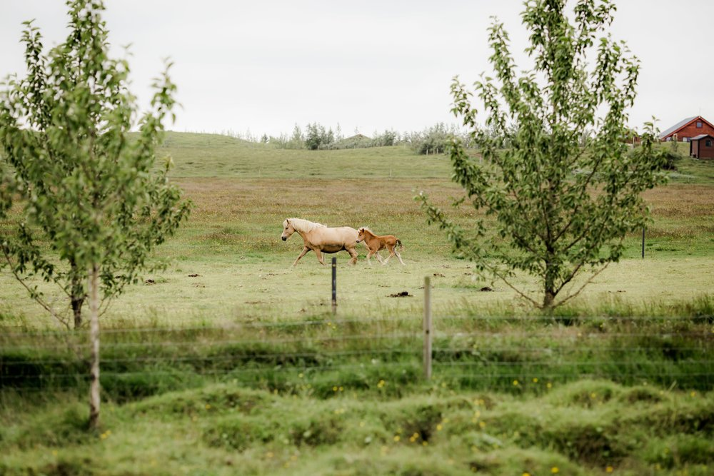 Horses in Iceland by Christina Swanson now on Cottage Hill56.jpg