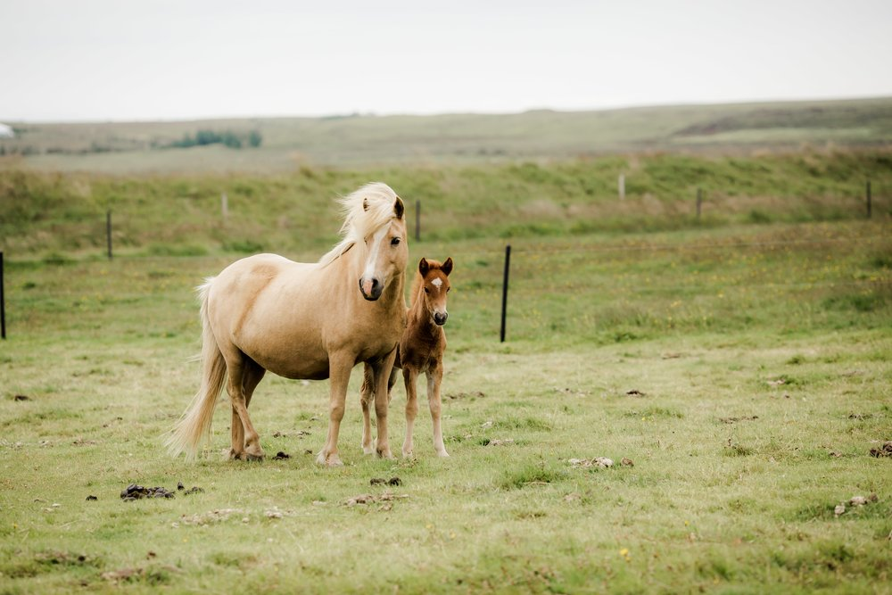 Horses in Iceland by Christina Swanson now on Cottage Hill59.jpg