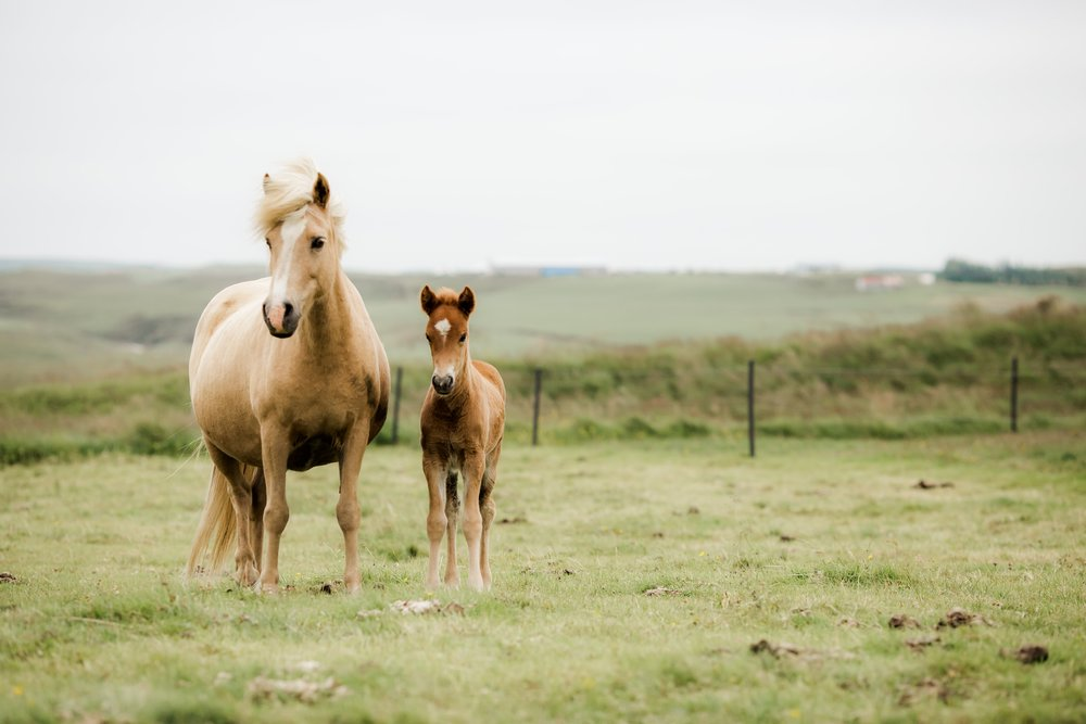 Horses in Iceland by Christina Swanson now on Cottage Hill60.jpg