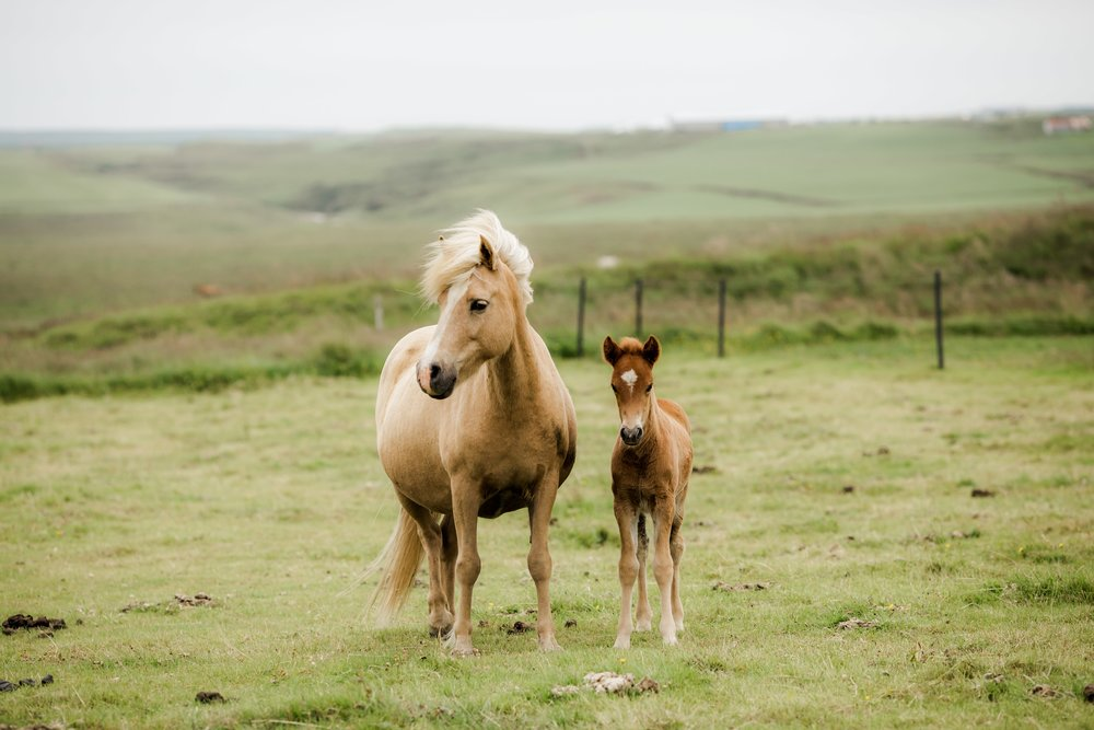 Horses in Iceland by Christina Swanson now on Cottage Hill61.jpg