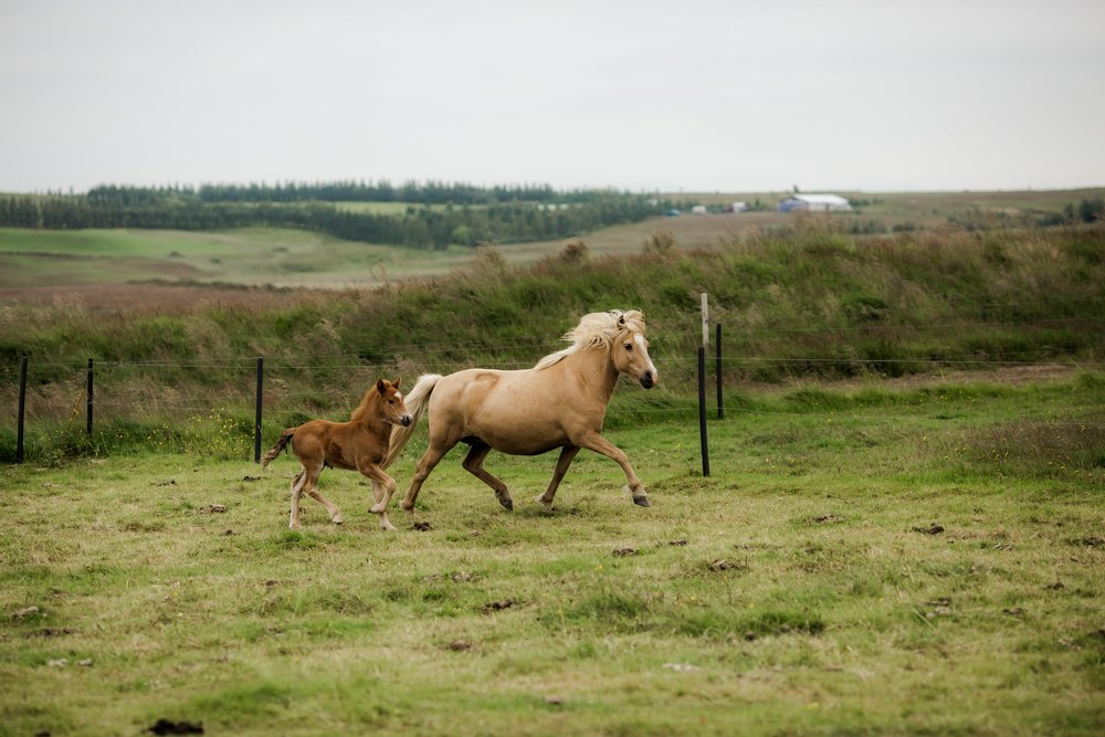 Horses in Iceland by Christina Swanson now on Cottage Hill63.jpg