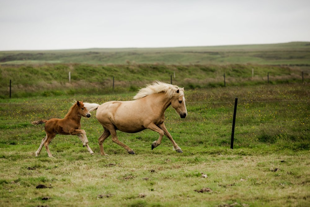 Horses in Iceland by Christina Swanson now on Cottage Hill64.jpg