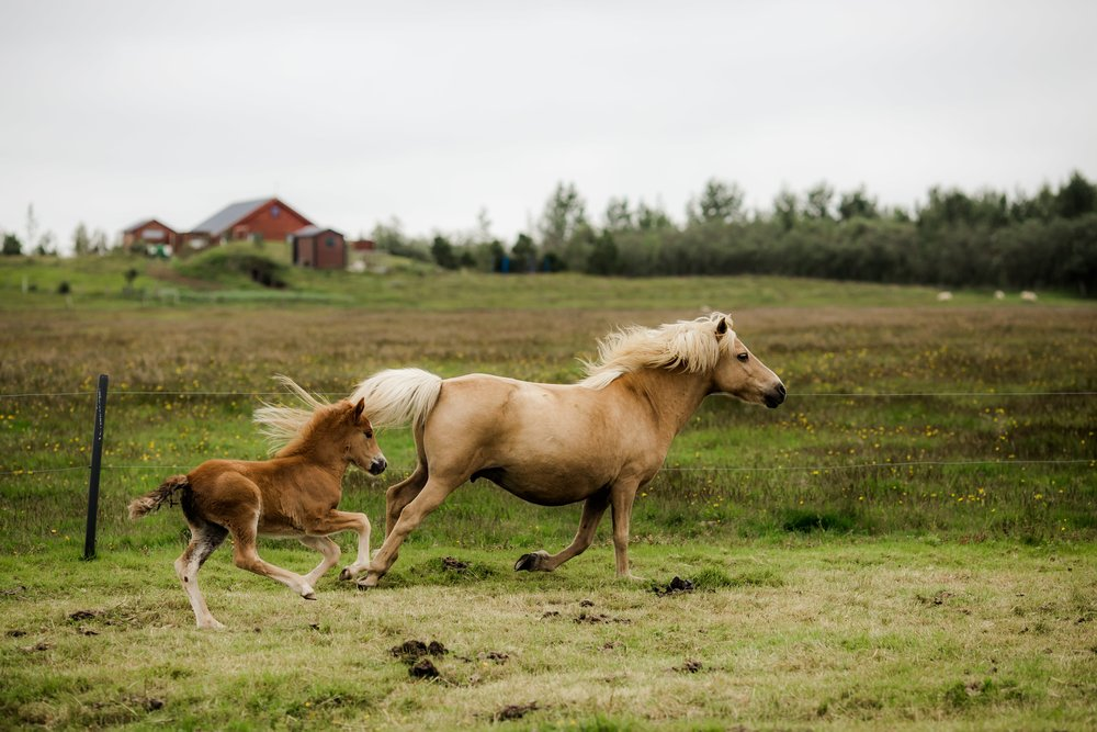 Horses in Iceland by Christina Swanson now on Cottage Hill65.jpg